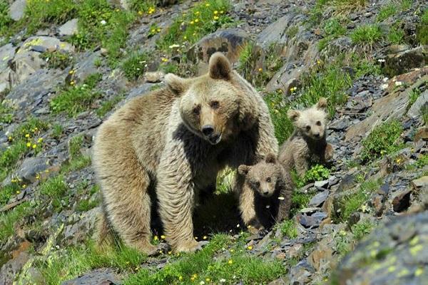 Teberdinskiy zapovednik medved.jpg